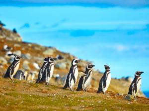 pinguin en Argentine